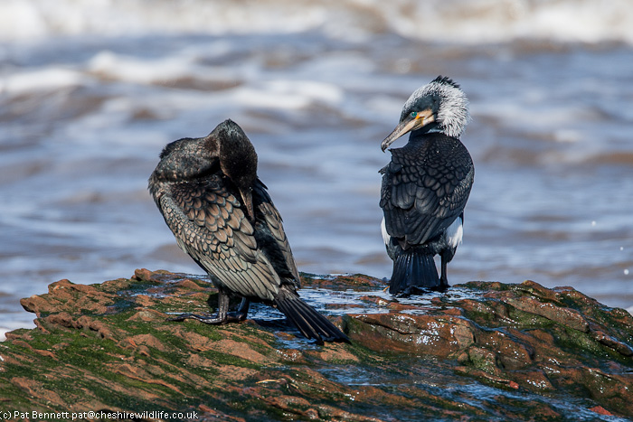 Pair of cormorants in breeding plumage