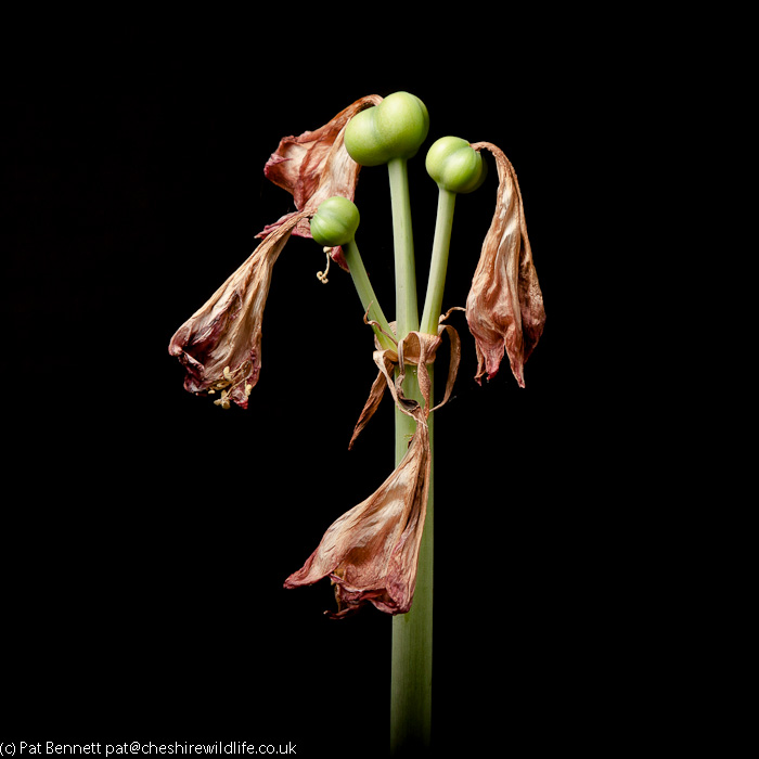 Amaryllis stalk showing ovaries