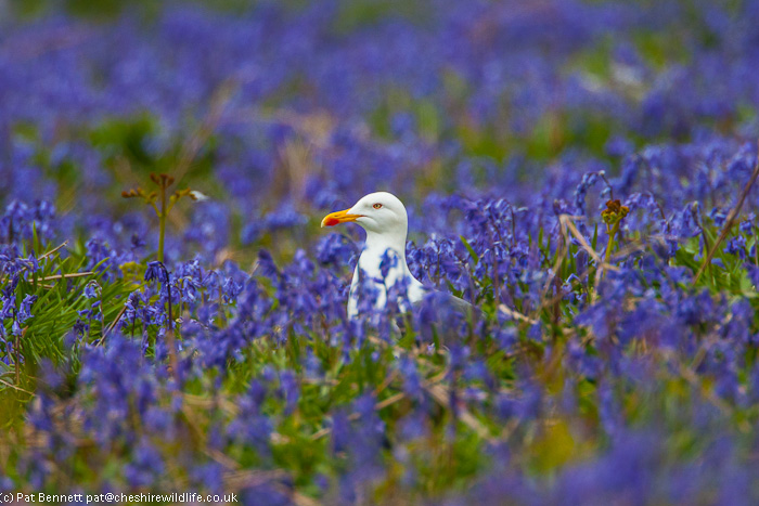 Gull and bluebells