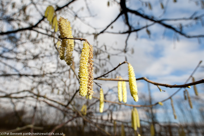 Hazel catkins in early spring sunshine