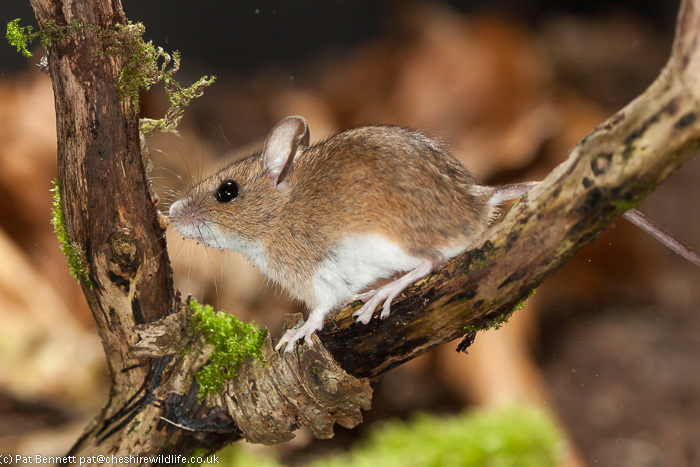 Wood mouse, apodemus sylvaticus, long-tailed field mouse