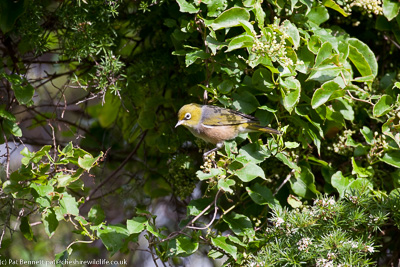 Silvereye at Onekaka